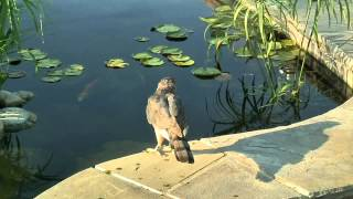Red tailed hawk hunts for fish in our pond