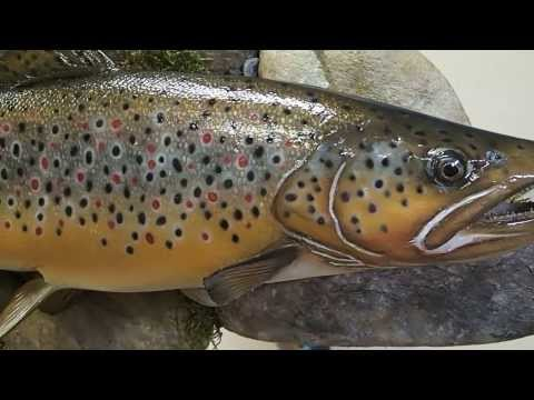 Brown Trout Replica Mount by Marine Creations Taxidermy