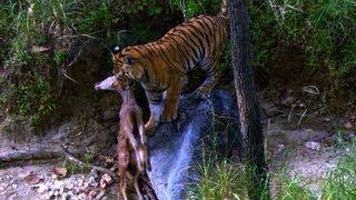 Tiger Cub's first Kill - David Attenborough - Tiger - Spy in the Jungle - BBC full download video download mp3 download music download