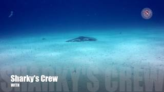 Spotted Eagle Ray on the field of Garden Eels