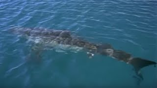 Video Great White Shark spotted in Britain? | Sharks | BBC Earth MP3, 3GP, MP4, WEBM, AVI, FLV Juli 2019