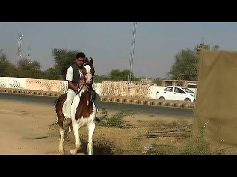 Riding Marwari Horses 234 Mb Wallpaper
