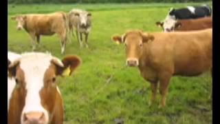 Video Cow Sounds mooo for Kids MP3, 3GP, MP4, WEBM, AVI, FLV November 2018