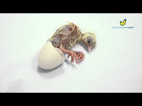 خروج الكتكوت من البيضة