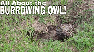 BURROWING OWL facts and information