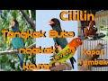 Download Lagu Masteran Mix Suara Panggilan Ngetik Lovebird dipadu Suara Kapas Tembak - Cililin - Tengkek Buto Mp3 Free