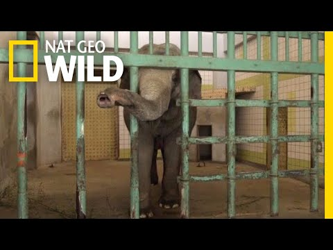 These Are the Loneliest Elephants on Earth | Nat Geo Wild
