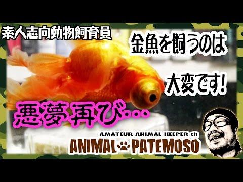 金魚を飼うのは大変!8ヶ月以上経過した金魚の近況【デメキン 出目金】【GOLDFISH 金魚】