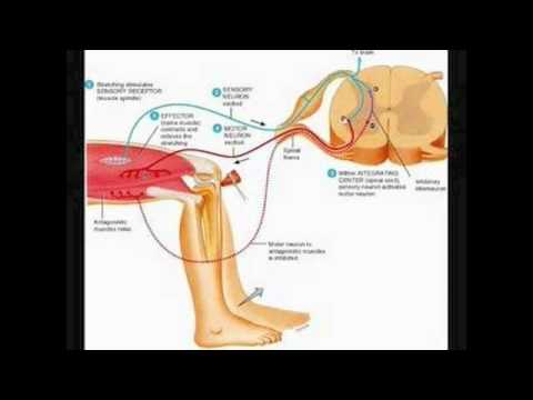 stretch reflex - Little explanation of the Stretch Reflex.