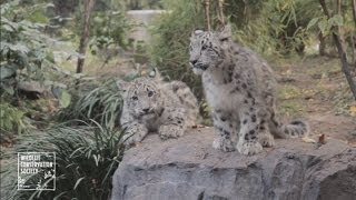 Twin snow leopard cubs: Cubs make debut at New York zoo