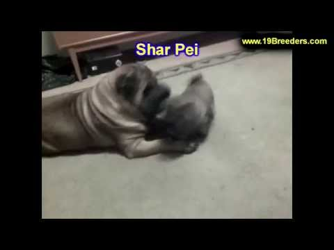 Shar pei puppies dogs for sale in charleston west for Shar pei puppies for sale craigslist