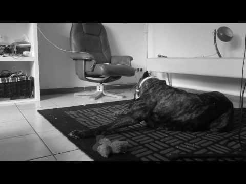 cane corso vs. bulldog