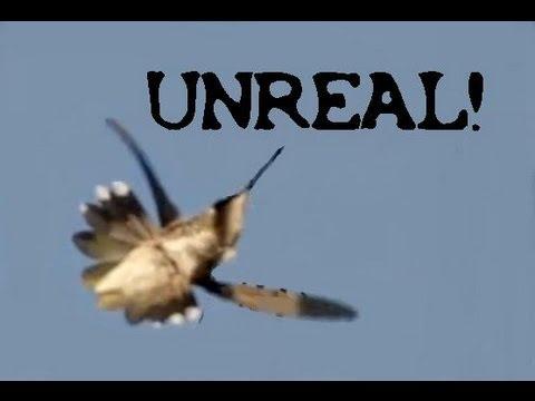 Hummingbird Flying Upside Down