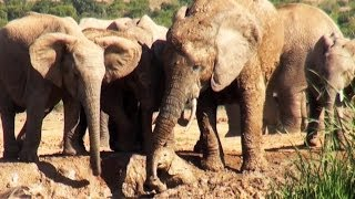 Mother Elephant Rescues Her Calf