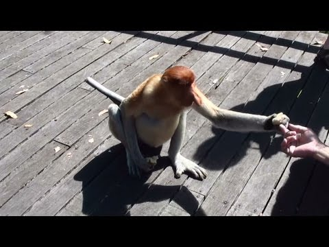 Video Proboscis Monkey (Long Nosed Monkey) Having A Snack - National Park Borneo 1080p HD download in MP3, 3GP, MP4, WEBM, AVI, FLV January 2017