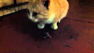 видео кошки ловящие мышь
