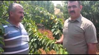 kirazda goldens sivi kükürt ve agrolive uygulamas