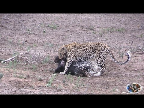 Porcupine vs Leopard. Porcupine Hits Back With Quills