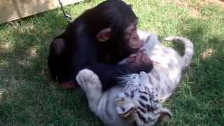 Baby Chimp, Tigers, and Wolf playing