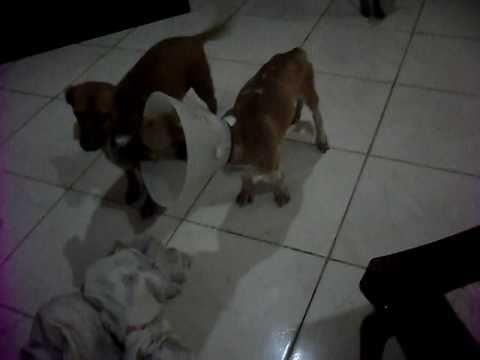 Alex, cão espancado em São José do Vale do Rio Preto depois das enchentes