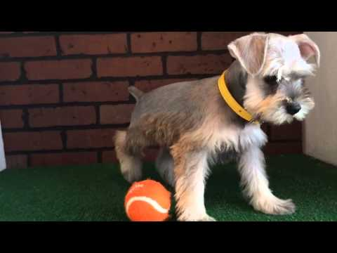 Female Mini Schnauzer Puppy
