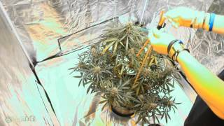 s6 Lets Make a Teepee Trellis by Grow420Guide
