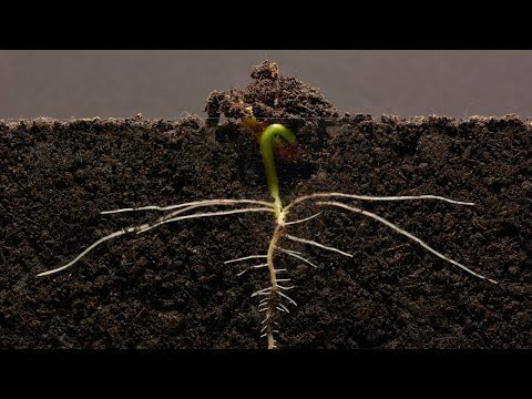 A Time-Lapse Video of a Kidney Bean