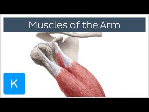 Muscles of the arm - Origin, Insertion amp Innervation -  Human Anatomy  Kenhub