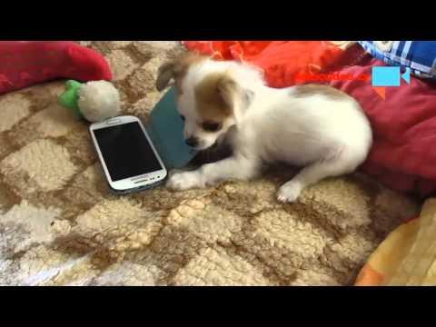 Mobilní Pes