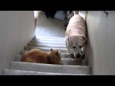 Video di un cane che ha paura di un gatto