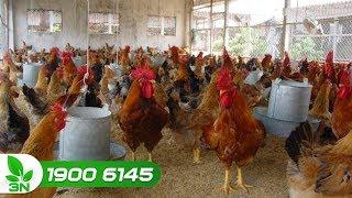 Chăn nuôi gà | Cách tẩy giun kim cho gà