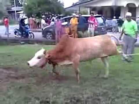 sembelih lembu -