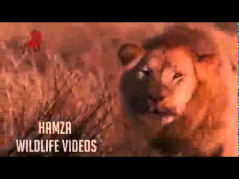 gratis download video - MUVIZA-COM--lion-kill-Hyena-cubs-in-front-of-his-mother