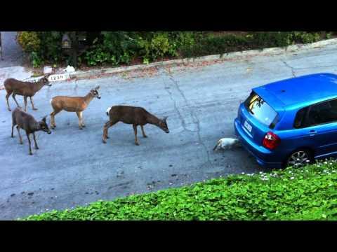 Γάτα vs ελάφια. Ποιος θα φοβηθεί περισσότερο;