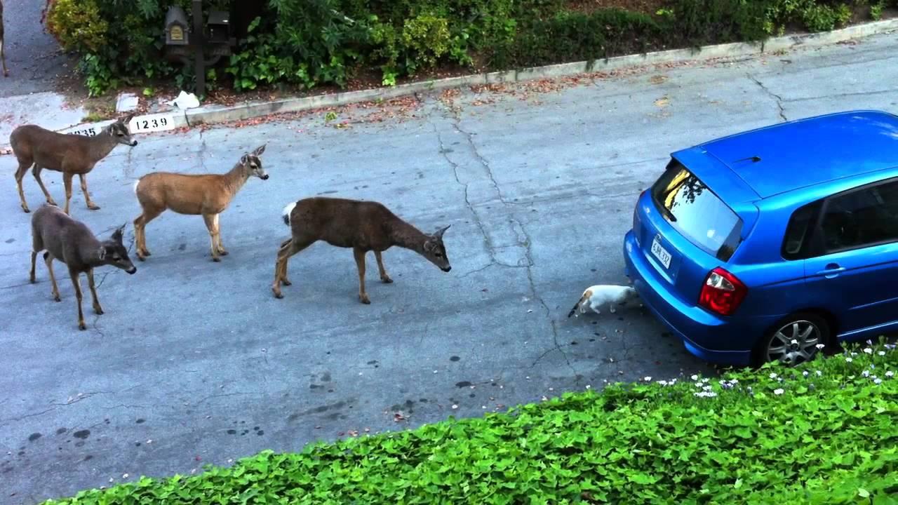 Mačka protiv jelena