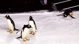 Who's cuter: Pittsburgh Penguins vs. actual penguins by Sportsnet Canada