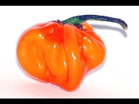 Habanero chili smagning med lydeffekter