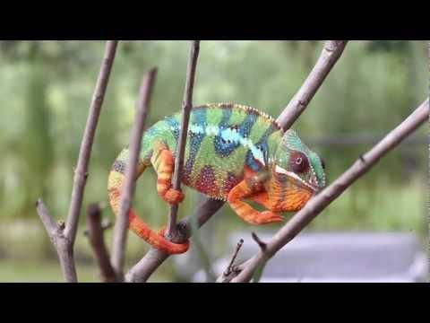 il reale colore di un camaleonte