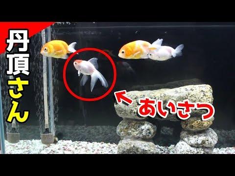[混泳した結果]新参者!丹頂さん桜錦先輩と仲良く出来る?