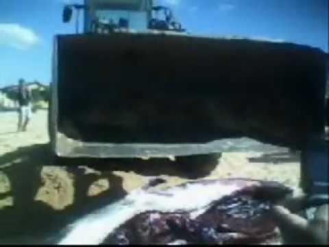 Baleia morta em Rio das Ostras