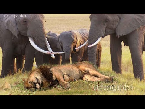 XxX Hot Indian SeX Lion vs bull Elephant Crocodile vs Elephant Lion vs Hyena Male lion attacks Animal Victim Fight back.3gp mp4 Tamil Video