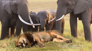 Lion vs bull Elephant Crocodile vs Elephant Lion vs Hyena Male lion attacks Animal Victim Fight back full download video download mp3 download music download