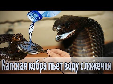 Кобра пьет с ложечки