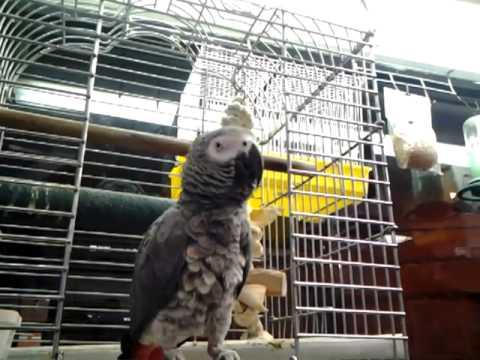 African Gray Parrot saying guantanamera.