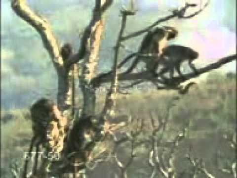 Macacada em morpara