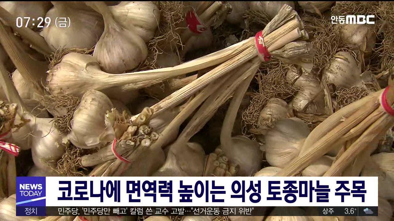 코로나에 면역력 높이는 의성토종마늘 주목