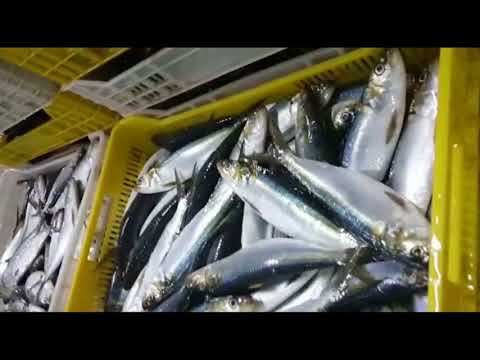 Welcome to AB FISHERY  -  Leading Moroccan Frozen Sardines, Mackerel, Sardinella, Fish meal Exporter