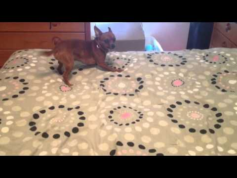 Chihuahua scared of an antler