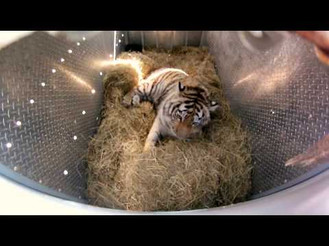 Tiger - GoPro Video of the Day - Sept. 20, 2013. Meet Zolushka the luckiest tiger in the world. This orphaned Siberian tigress was left to fend for herself when she ...