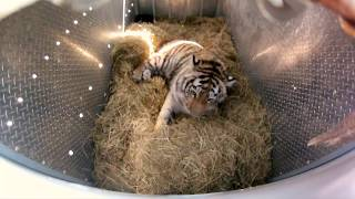 Incredibly Rare Siberian Tiger Release - GoPro Video of the Day full download video download mp3 download music download